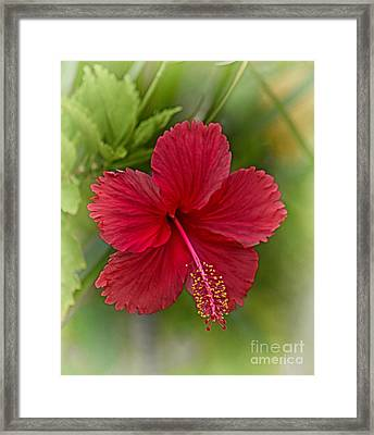Red Hibiscus Framed Print by Wendy Townrow