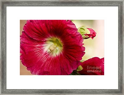 Framed Print featuring the photograph Red Hollyhock Althaea Rosea by Sue Smith
