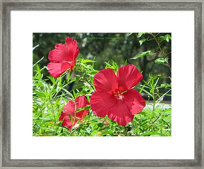 Red Hollyhocks Framed Print by Sonali Gangane