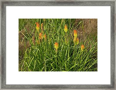 Red-hot Poker (kniphofia Ritualis) Framed Print