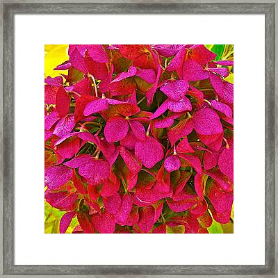 Red Hydrangea In Autumn At Park Sierra In Coarsegold California Framed Print