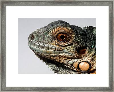 Red Iguana Framed Print