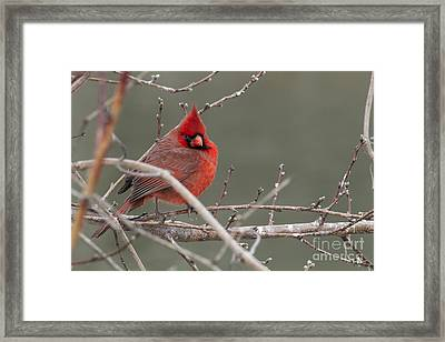 Red In Winter Framed Print