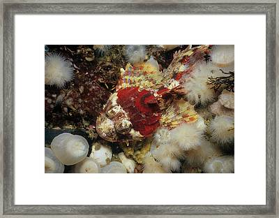 Red Irish Lord Camouflaged Framed Print by Jeff Rotman
