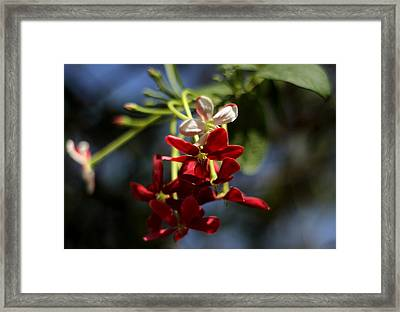 Red Jasmine Blossom Framed Print by Ramabhadran Thirupattur