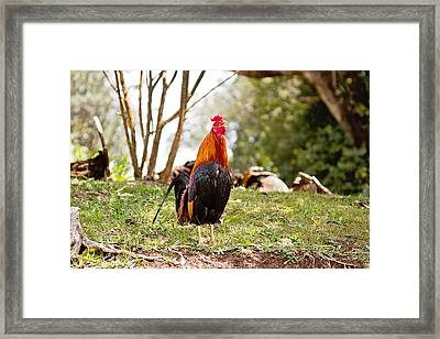 Red Jungle Fowl - Moa Framed Print by Scott Pellegrin