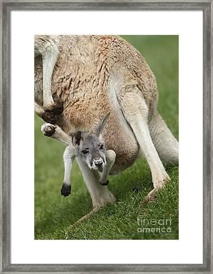 Red Kangaroo Joey Framed Print