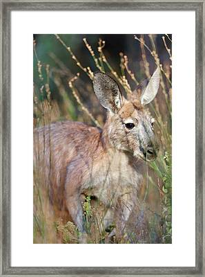 Red Kangaroo (macropus Rufus Framed Print by Martin Zwick