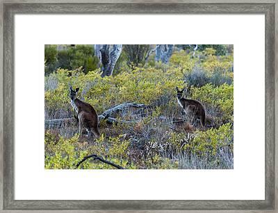 Red Kangaroo Macropus Rufus Framed Print by Panoramic Images