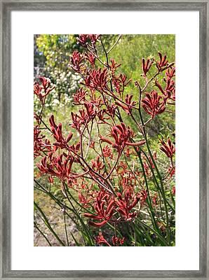 Red Kangaroo Paw (anigozanthos Rufus) Framed Print by Adrian Thomas