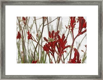 Red Kangaroo Paw Framed Print by Ben and Raisa Gertsberg