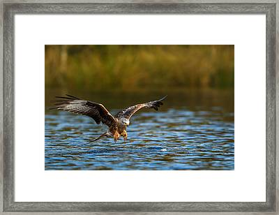 Red Kite Swooping Over Water Framed Print