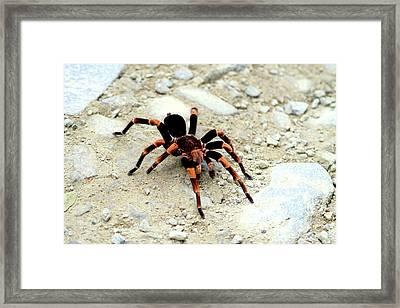 Red-kneed Tarantula (euathlus Mesomelas Framed Print by Miva Stock