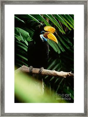 Red-knobbed Hornbill Framed Print