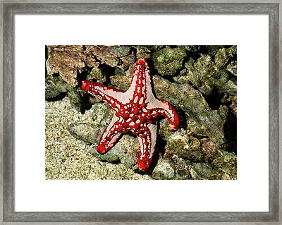Red-knobbed Starfish Framed Print by Nigel Downer