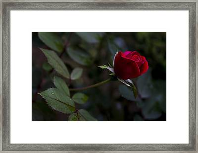 Red Knockout Rose Framed Print