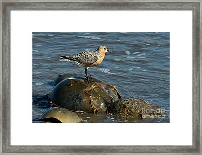 Red Knot On Horseshoe Crab Framed Print