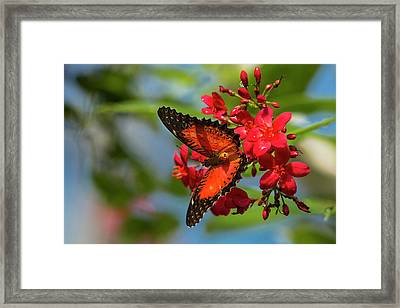 Red Lacewing Butterfly (cethosia Biblis Framed Print by Chuck Haney