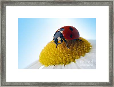 Red Ladybug And Camomile Flower Framed Print by Boon Mee