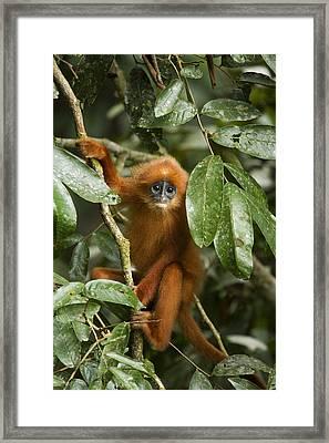 Red Leaf Monkey Juvenile Sabah Borneo Framed Print by Sebastian Kennerknecht