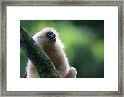 Red Leaf Monkey Framed Print by Max Waugh