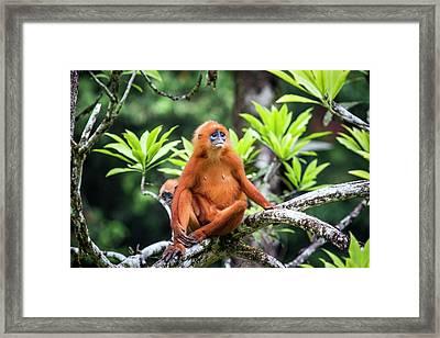 Red Leaf Monkeys Framed Print by Paul Williams