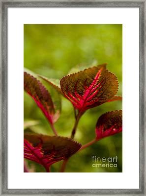 Red Leaf Framed Print by Thomas Levine