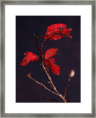 Red Leaves And Fading Moon Framed Print