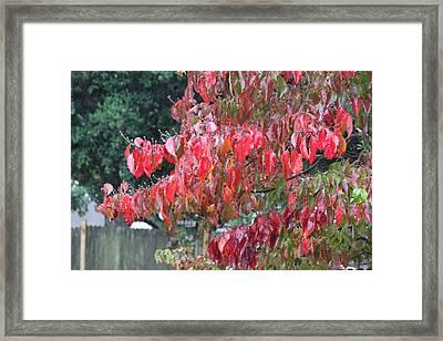 Red Leaves In The Rain Framed Print by Carolyn Ricks