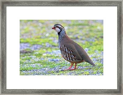 Red-legged Partridge Framed Print by Bildagentur-online/mcphoto-schaef