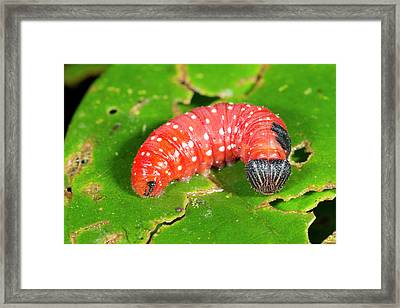 Red Lepidopteran Larva Framed Print by Dr Morley Read