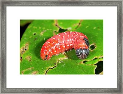 Red Lepidopteran Larva Framed Print by Dr Morley Read