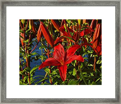Red Lilies Framed Print by Randy Hall