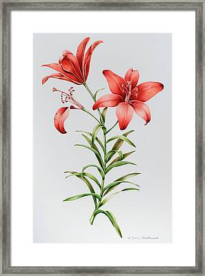 Red Lilies Framed Print by Sally Crosthwaite