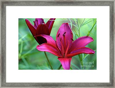 Red Lillies Framed Print