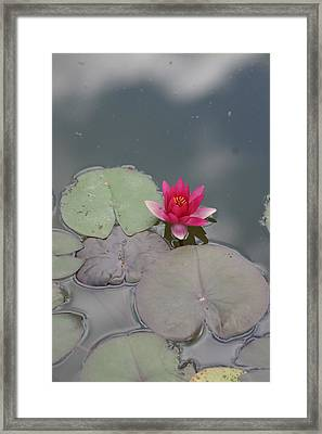 Red Lilly Framed Print by Dervent Wiltshire