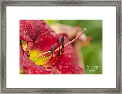 Red Lilly Framed Print by Yasar Ugurlu