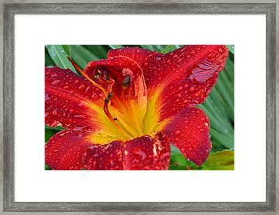 Red Lily After The Rain Framed Print