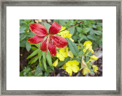 Red Lily And Yellow Buttercups Framed Print by Jonathan Welch