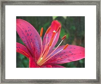 Red Lily Close Up 3 Framed Print