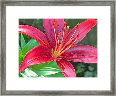 Red Lily Close Up 2  Framed Print