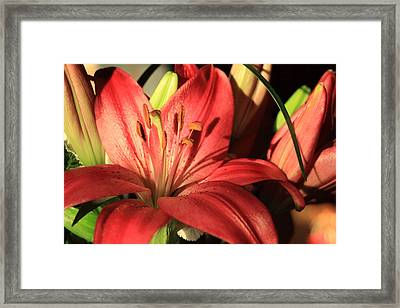 Red Lily With Buds Framed Print by Linda Phelps