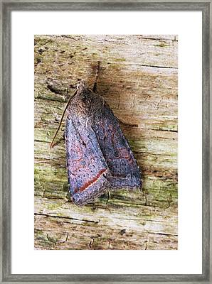 Red Line Quaker Moth Framed Print by David Aubrey