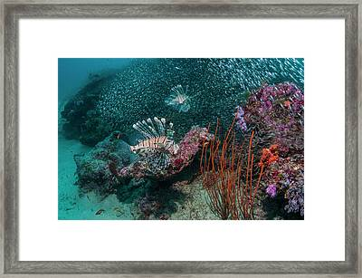 Red Lionfish Hunting Over A Coral Reef Framed Print by Georgette Douwma