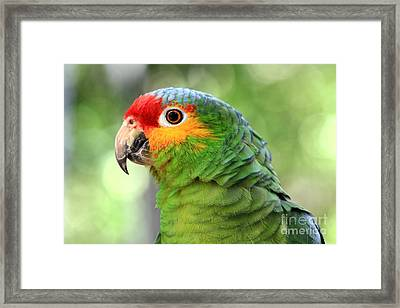 Red-lored Amazon Parrot Framed Print by Teresa Zieba
