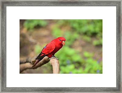 Red Lory Framed Print