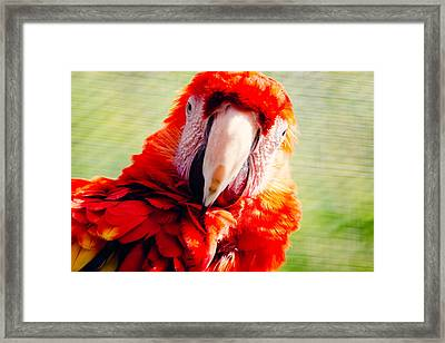 Red Macaw Framed Print by Pati Photography