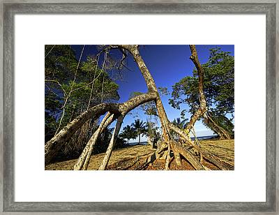 Red Mangrove Aerial Roots Framed Print