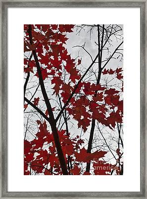 Red Maple Branches Framed Print by Ana V Ramirez