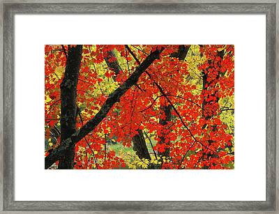 Red Maple Close-up, Sebago Lake State Framed Print by Michel Hersen